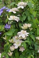 Clematis Innocent Blush